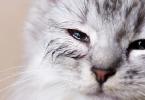 أمراض العيون عند القطط