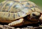 أنواع السلاحف المنزلية