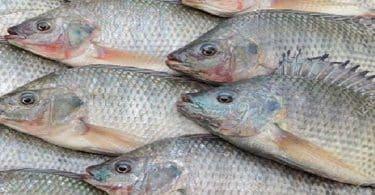 السمك البلطي في المنام