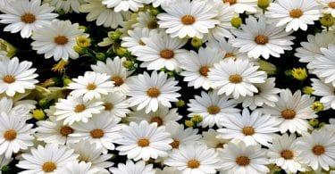 الورد الأبيض في المنام للعزباء لابن سيرين