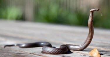 تفسير حلم الثعابين الصغيرة للعزباء