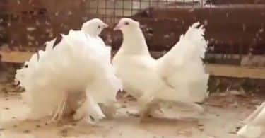 تفسير حلم الطير الأبيض للعزباء