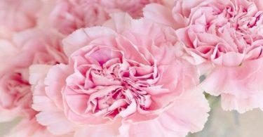 تفسير حلم الورد الوردي للعزباء