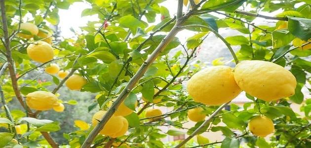 تفسير قطف الليمون في الحلم