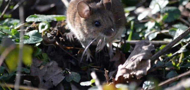 رؤية الفأر الصغير في المنام للمتزوجة