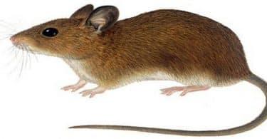رؤية الفأر في المنام للمتزوجة