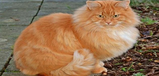رؤية قطة صفراء اللون في المنام