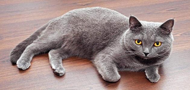 سلالات القطط النادرة