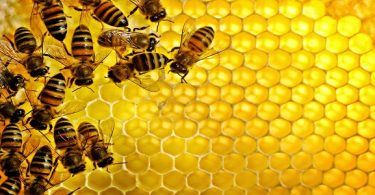طريقة خلط غذاء ملكات النحل مع العسل