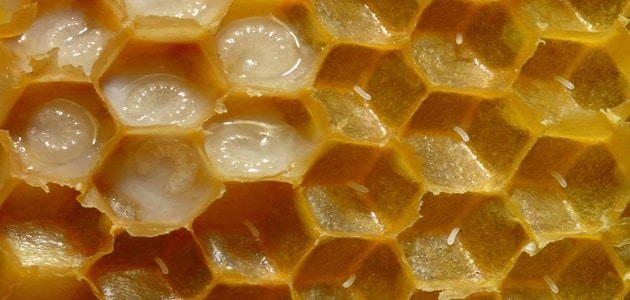 ملكه النحل وطرق استخدامه