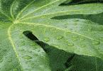 نبات الأيلوديا وعملية النتح
