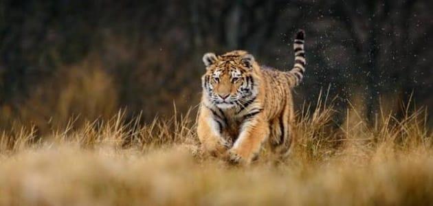 نمر يلاحقني في الحلم