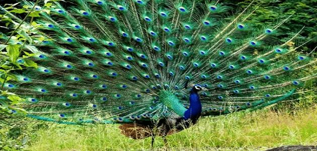 ألوان الطاووس الأنثى