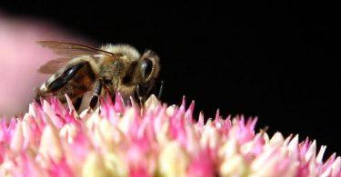 رؤية ملكة النحل في المنام