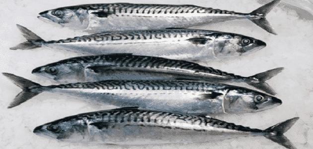 شكل سمك الماكريل الأصلي