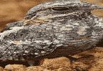 طائر السبد الأوروبي