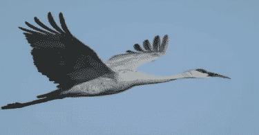 طائر الكركي الرمادي
