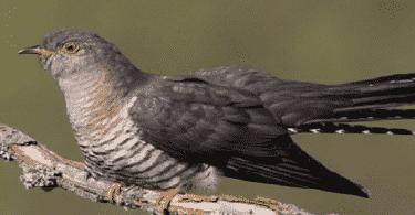 طائر الوقواق والطيور