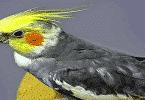 ماذا يحب طائر الكوكتيل
