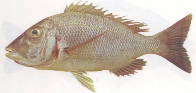 أفضل أنواع السمك في البحر الأحمر