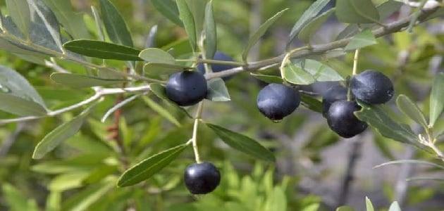 التاريخ القديم والحديث لشجرة الزيتون الأسود