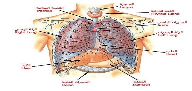 جسم الإنسان من الداخل بالعربي