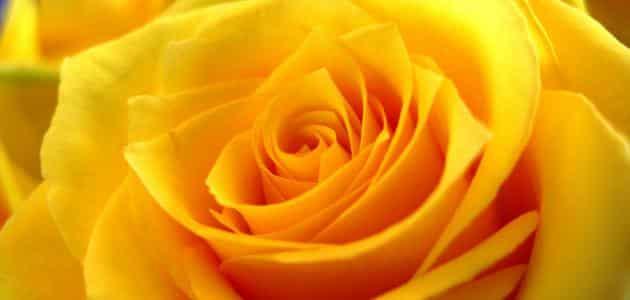 تفسير اللون الأصفر الفاقع في المنام لابن سيرين