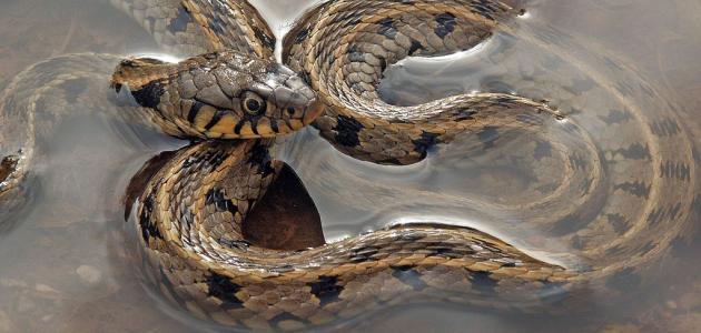 تفسير رؤية الثعبان الأصفر في المنام للرجل والعزباء والمتزوجة