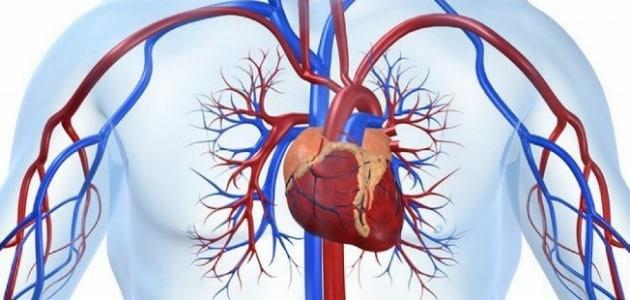 ماذا يسمى جهاز الدوران الذي يدفع الدم مباشرة في انسجة الحيوان؟