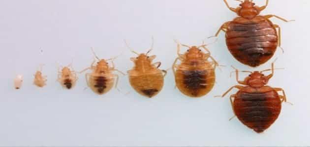 كيفية التخلص من حشرة البق
