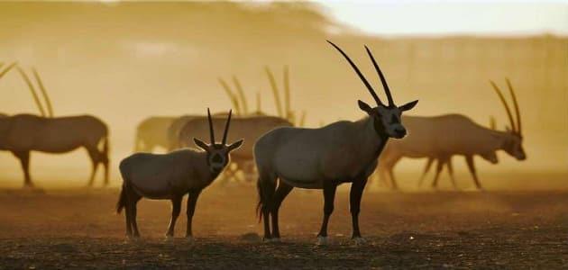 من الحيوانات المهددة بالانقراض في السعودية