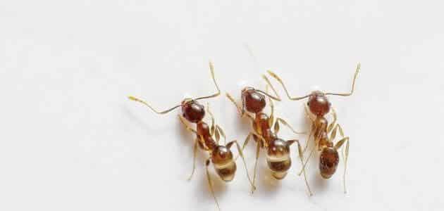 لطرد النمل من المنزل بدون إيذاءه